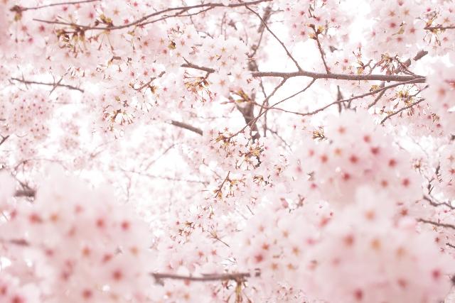 桜の名所が世田谷区にはどんな所がある?一度は行きたい桜の名所