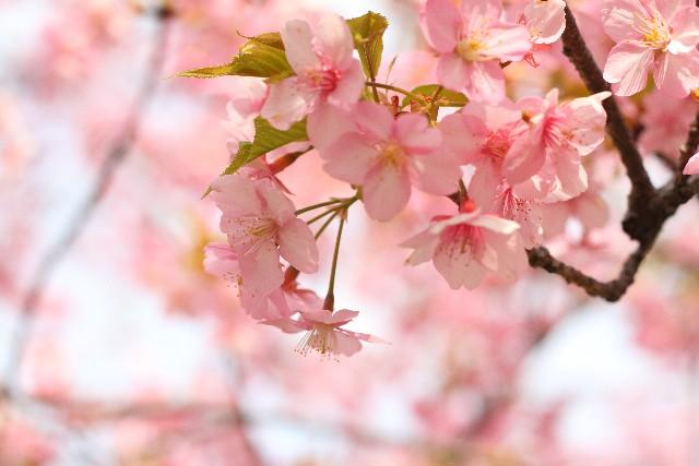 桜の名所が岩手にはたくさん!岩手県にある桜名所100選とは?
