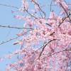 桜の名所がここにも!長野県のおススメ桜スポットをご紹介!