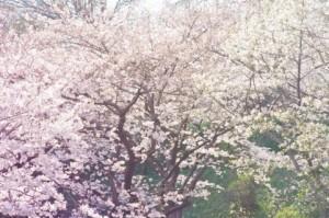 奈良市 桜 名所