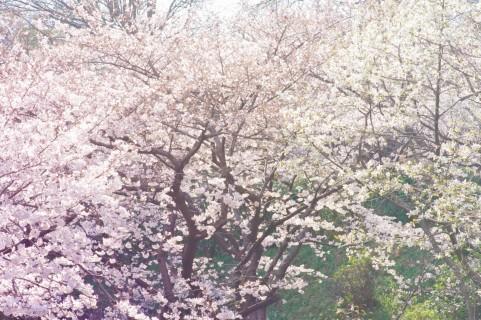 奈良市にある桜の名所はすごい!ぜひおススメしたい桜スポット