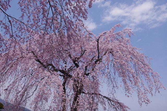 桜の名所でしだれ桜が綺麗な場所はどこ?おススメスポットとは?