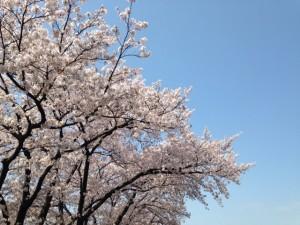 桜,名所,池袋