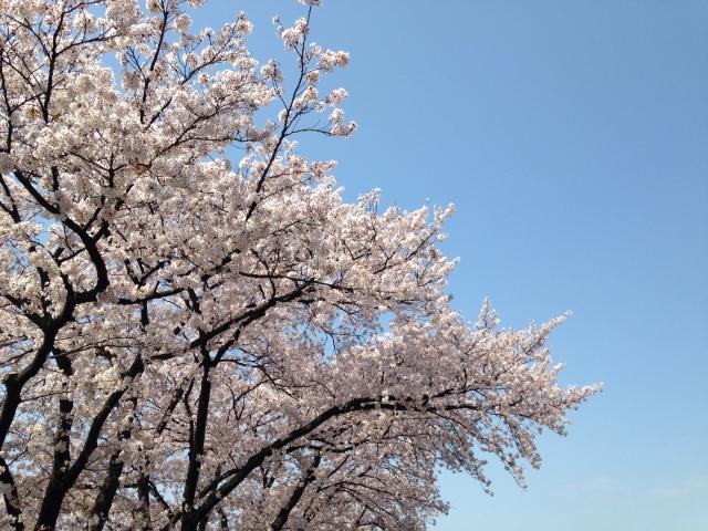 桜の名所は池袋には意外と沢山あるって知ってる?絶好の桜スポットは?
