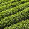 八十八夜とお茶の意味☆日本人とお茶、八十八夜の深い関係とは