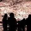 桜の名所がある東京でライトアップもされている人気スポットとは?