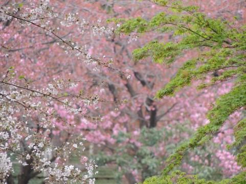 桜の名所が千葉市にはたくさんあるけど、特にオススメなところというと・・・?