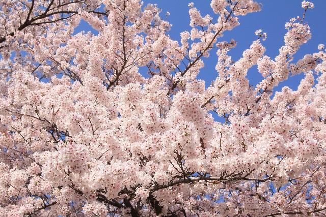 桜の名所の中で神奈川県にある絶好の桜スポットといえばどこ?